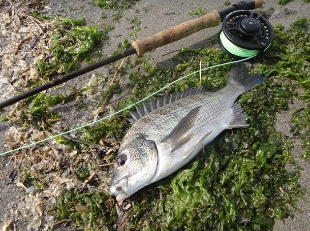 浜名湖で釣りあげたクロダイ