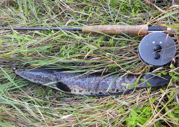 自作ポッパーで釣った雷魚