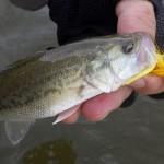 10月下旬フラデバ釣行◆野池でバス・ギル釣り