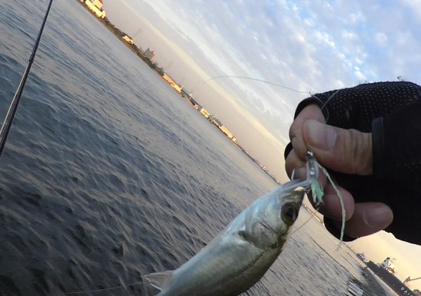亀崎で釣ったセイゴ